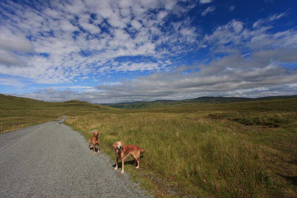 Golden Retriever en Ecosse sur l'île de Skye