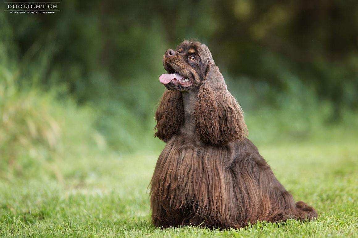 Séance photo Nougatine, chien cocker Américain à Yverdon