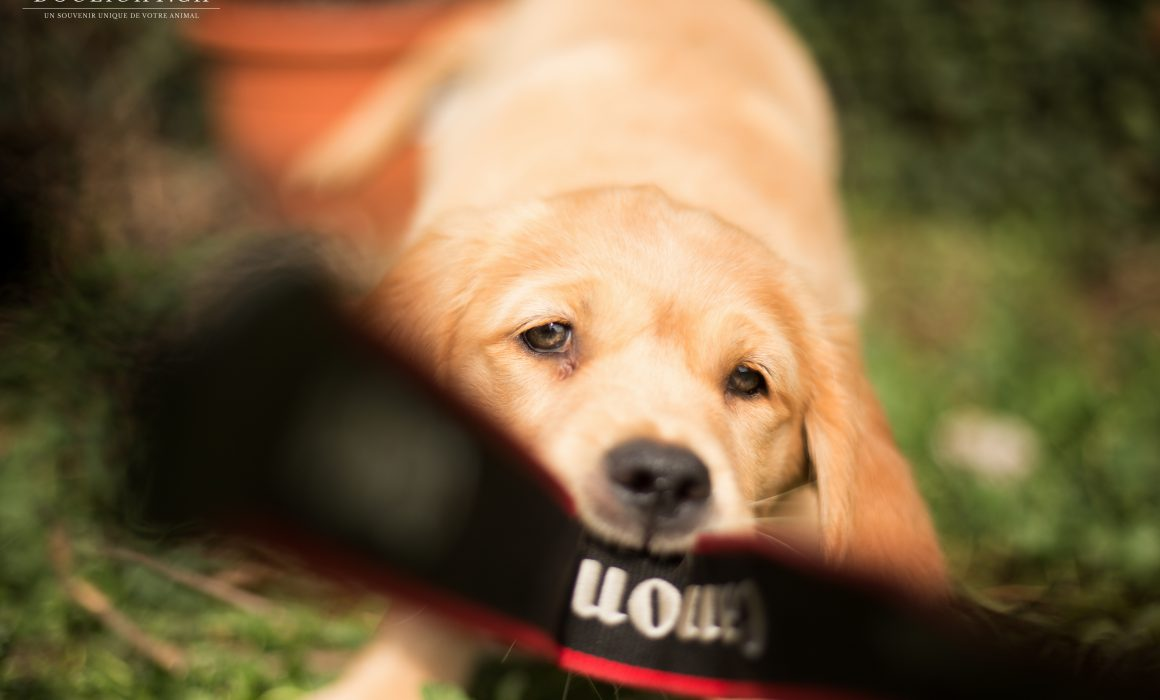 Chiot Golden retriever avec appareil photo