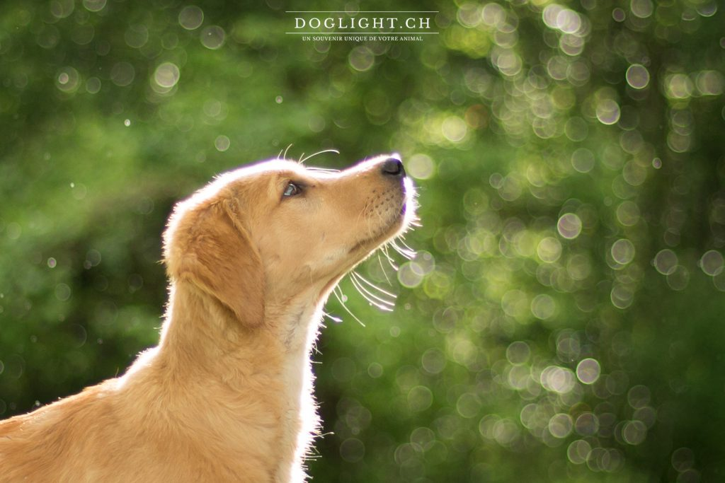 Portrait golden retriever chiot photographie bokeh