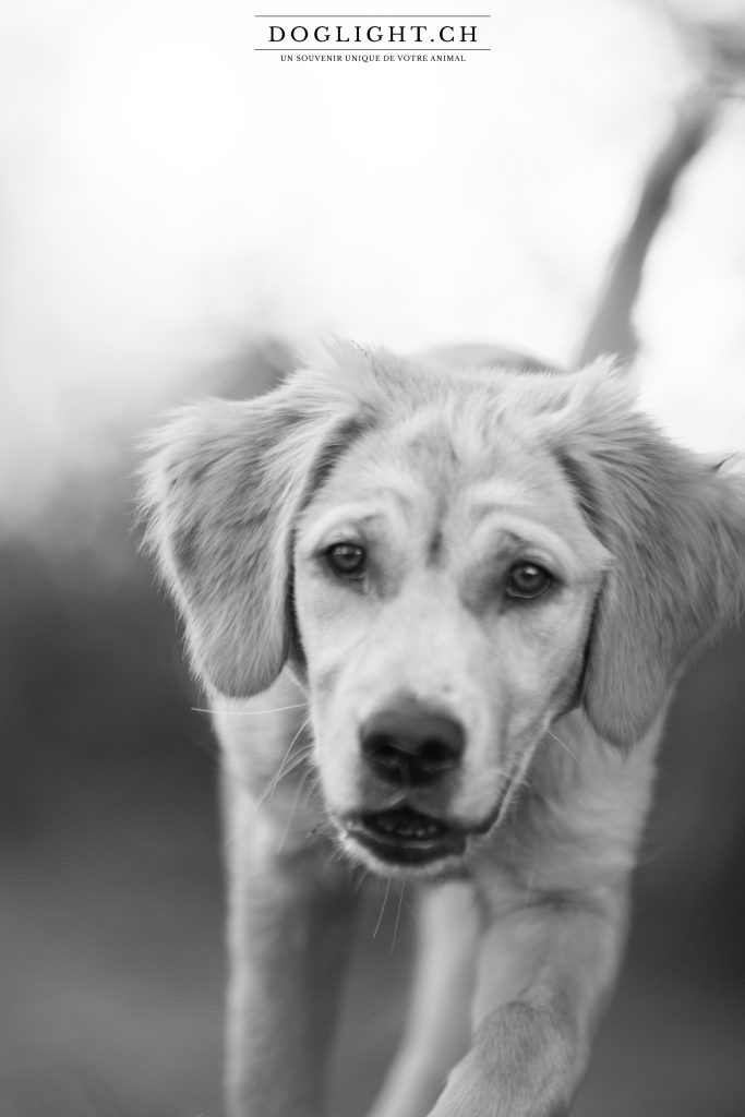 Portrait chiot Golden retriever noir et blanc