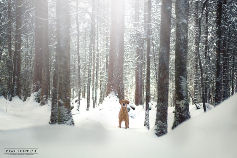 Golden retriever dans la neige en forêt