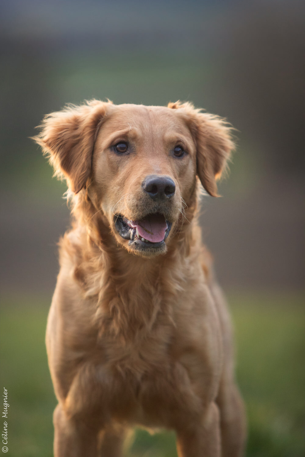 Photo portrait golden retriever hiver