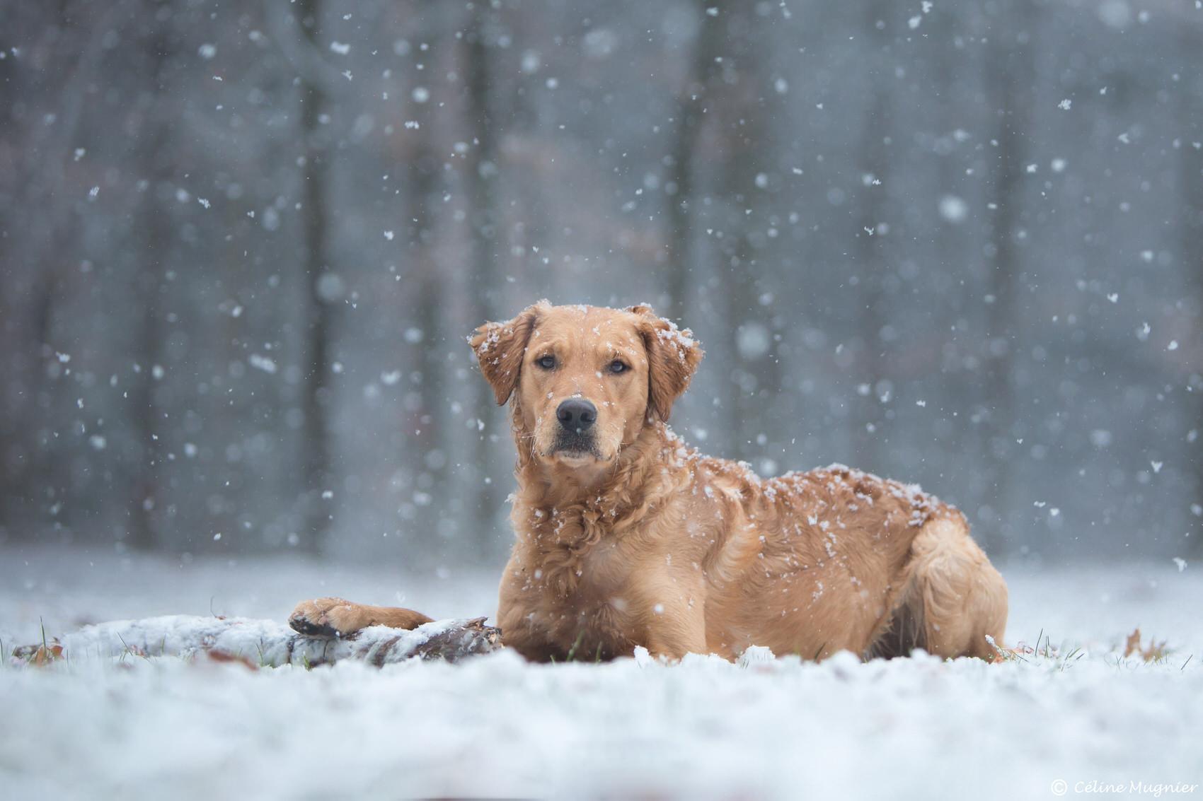 Golden retriever sous la neige