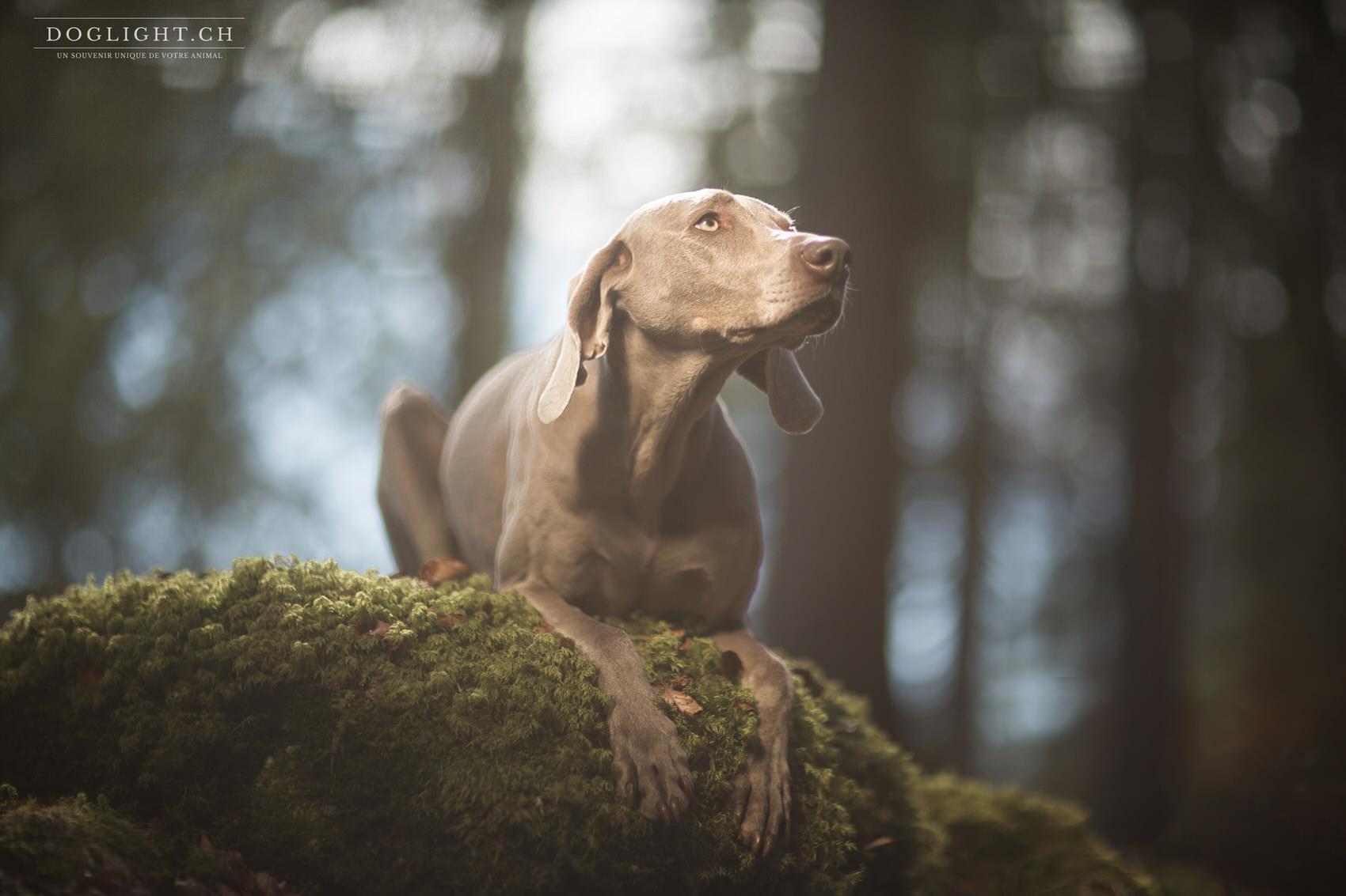 Photo braque en forêt à la Vallée de Joux