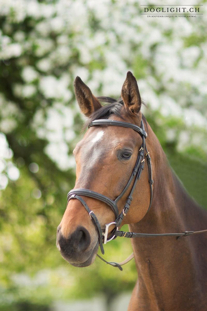 Photographie portrait cheval de concours avec bride