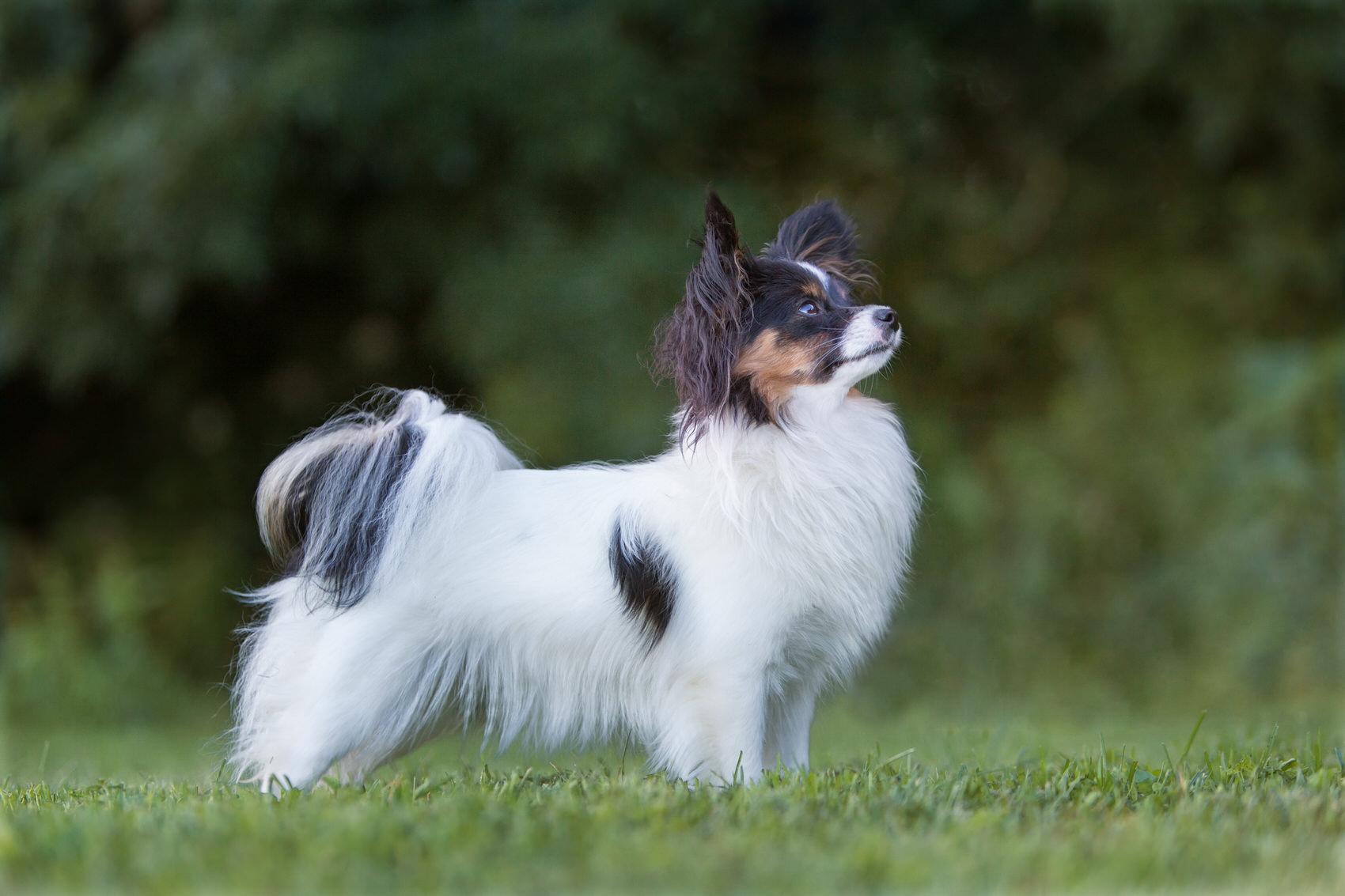 Photographie chien papillon élevage fribourg