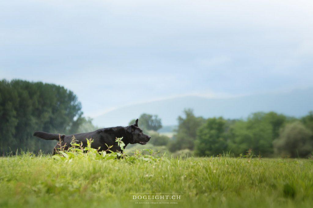 Labrador noir qui court