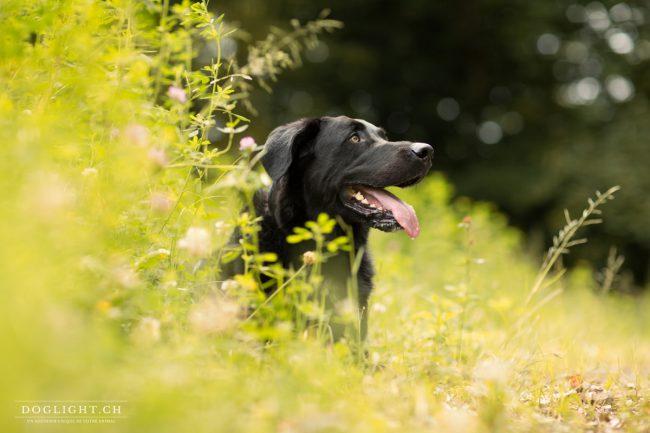 Photo mâle labrador noir de Genève