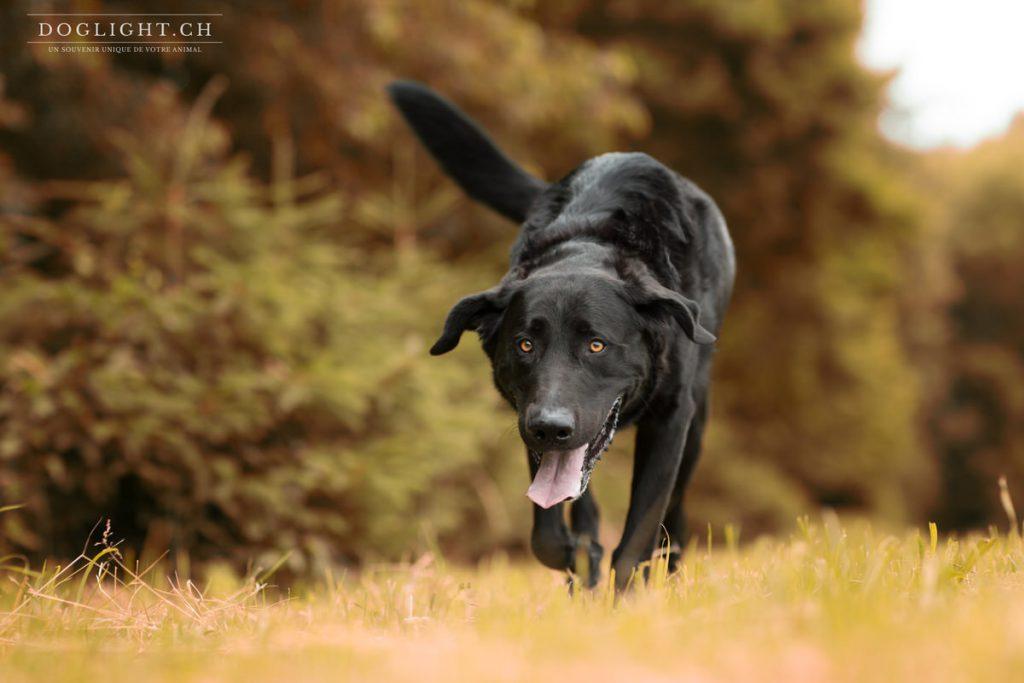 Photo Labrador noir Blenny