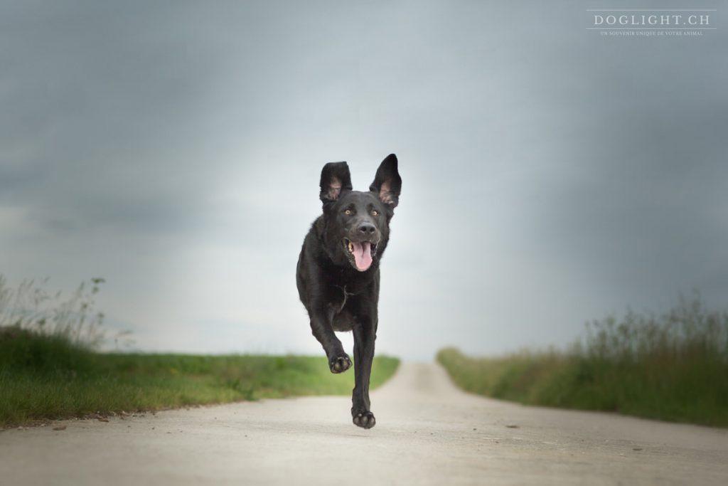 Labrador noir qui court vers nous