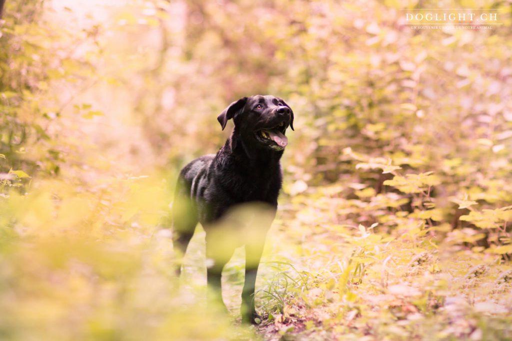 Labrador noir dans les feuilles d'automne