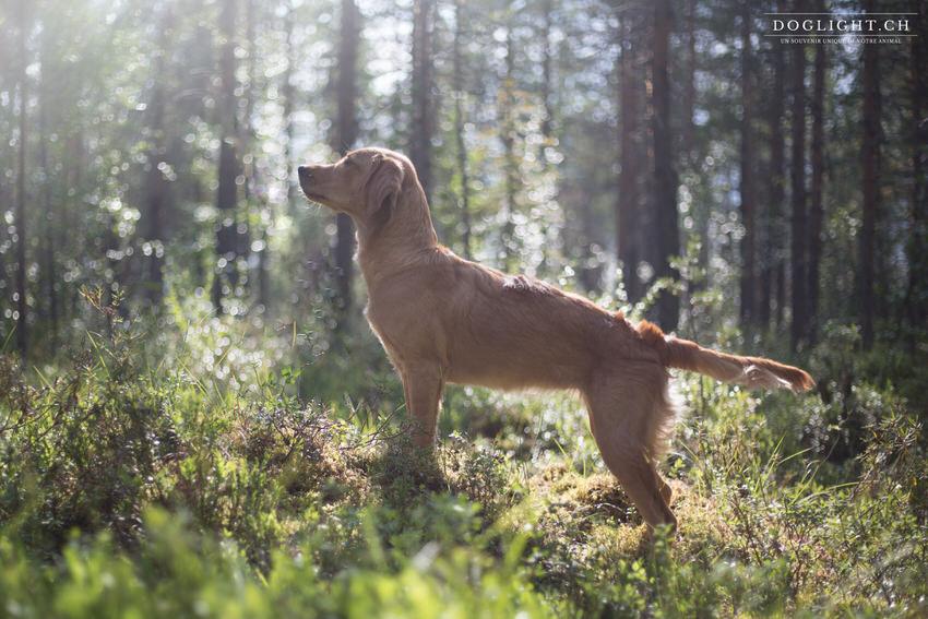 Golden retriever lumière en forêt