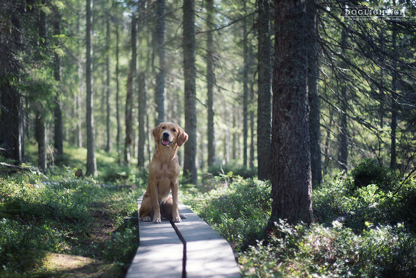 Golden retriever en forêt