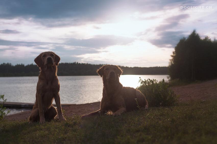 Golden retriever au coucher de soleil devant un lac