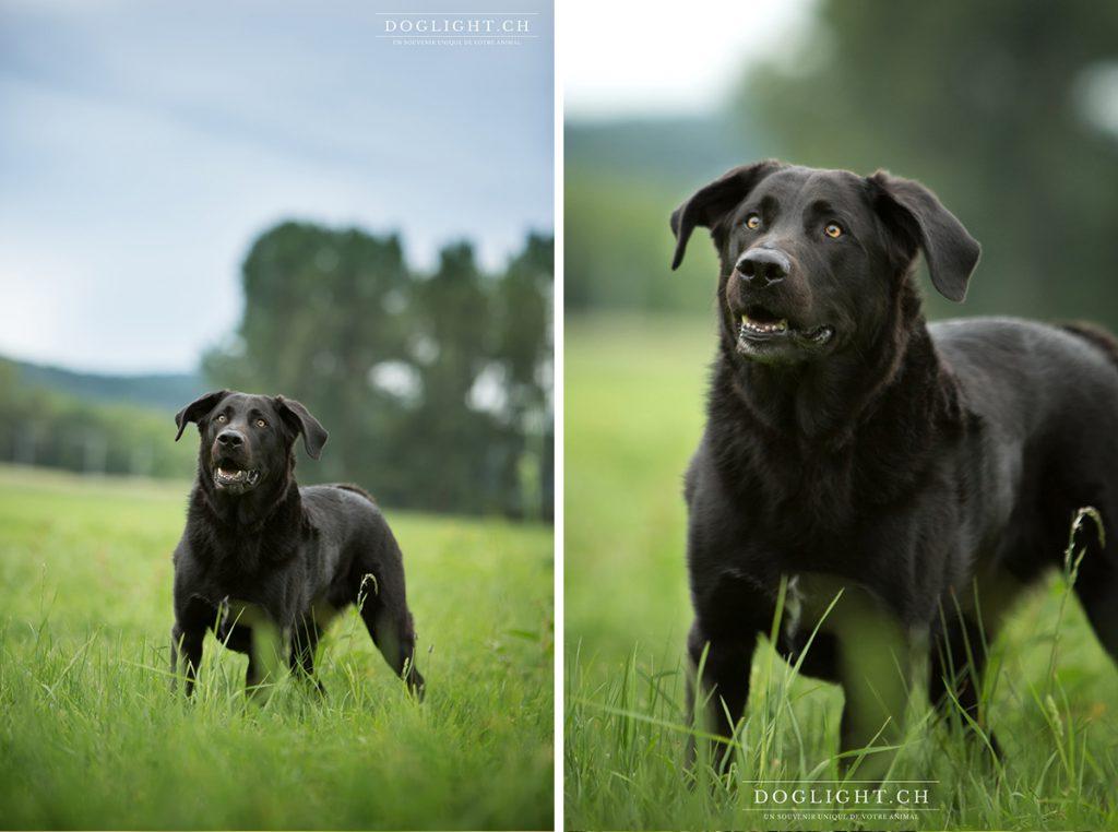 Portrait labrador noir yeux jaune