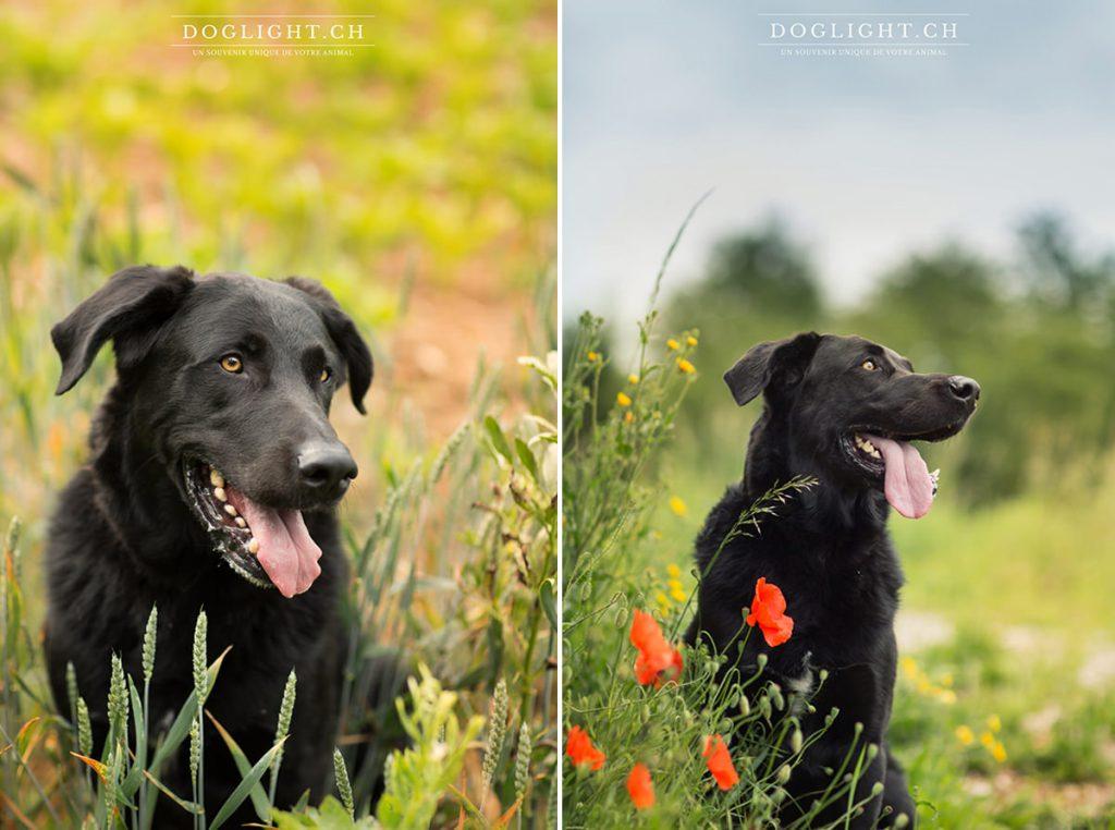 Portrait labrador noir coquelicot et blé