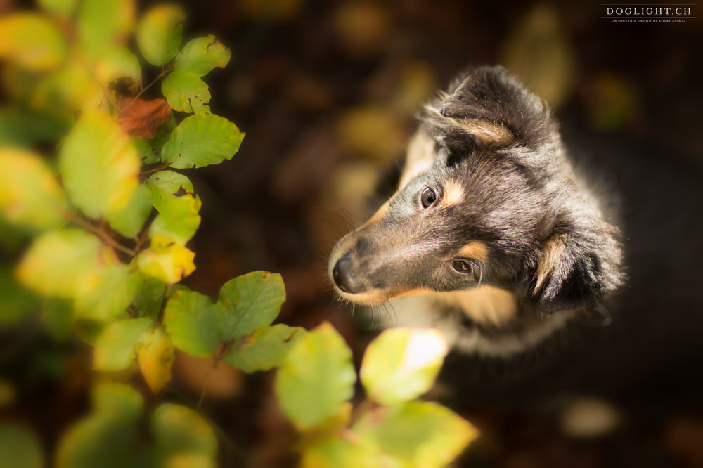 Chiot berger des shetlands tricolore en automne