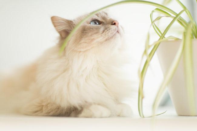 Chat yeux bleu avec plante