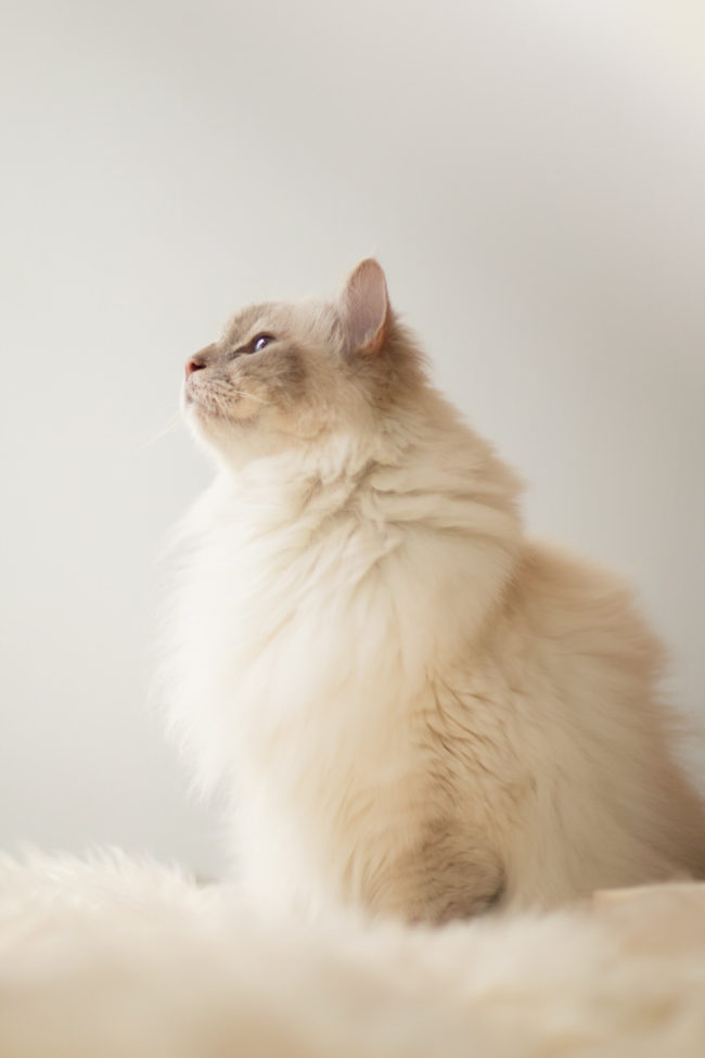 Profil chat sacré de birmanie yeux bleu