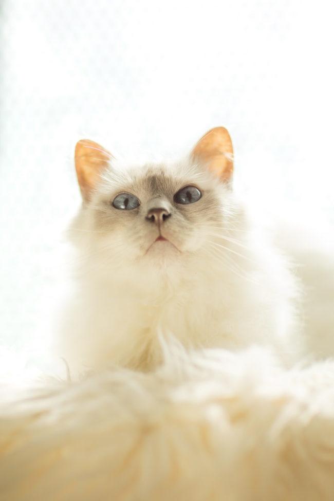 Chat sacré de birmanie yeux bleu