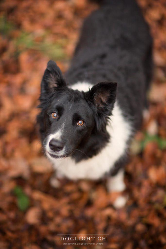 Kalou, border collie 12,5 ans