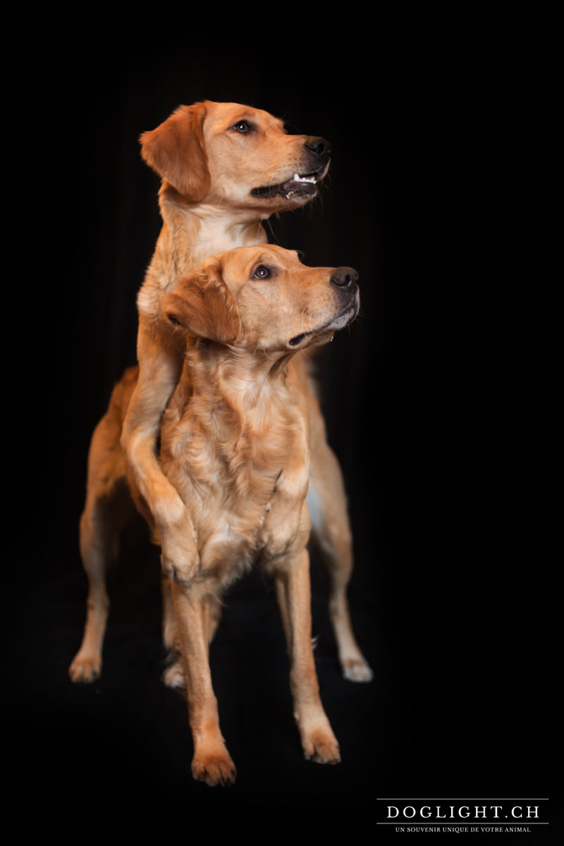 Photo studio 2 chiens Golden Retriever fond noir