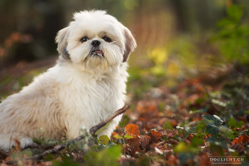Photgraphie Shih Tzu assis avec sa langue