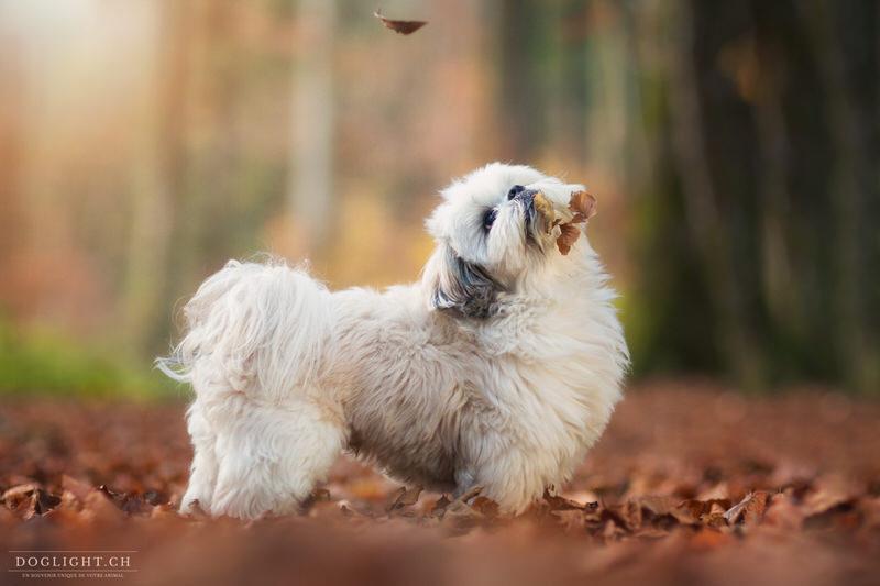 Shih Tzu dans les feuilles d'automne