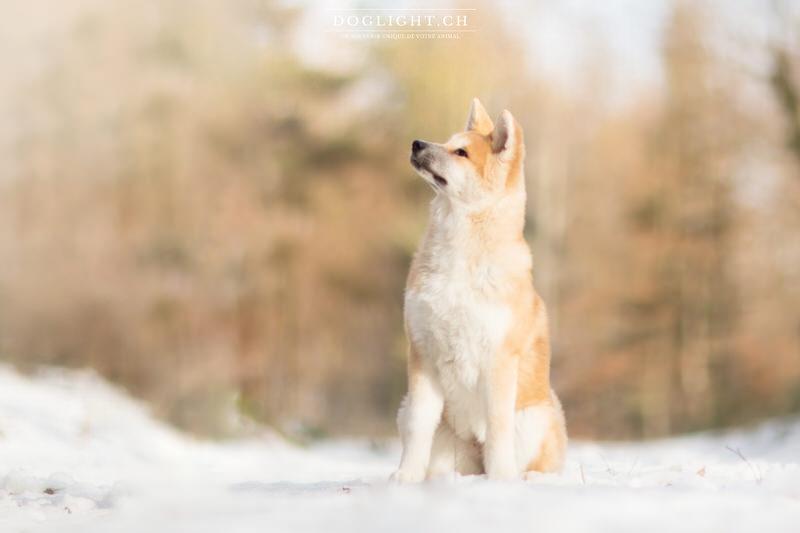 Séance photo d'une magnifique Akita Inu dans la neige