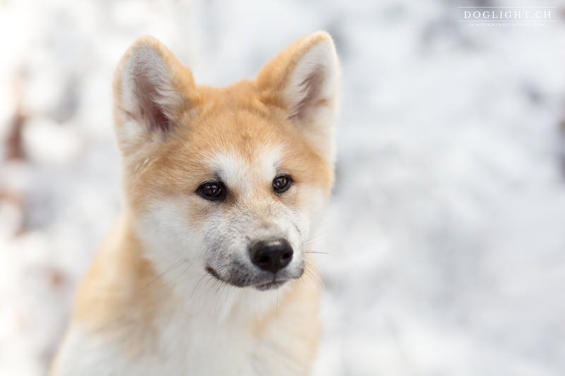 Portrait Akita Inu dans la neige
