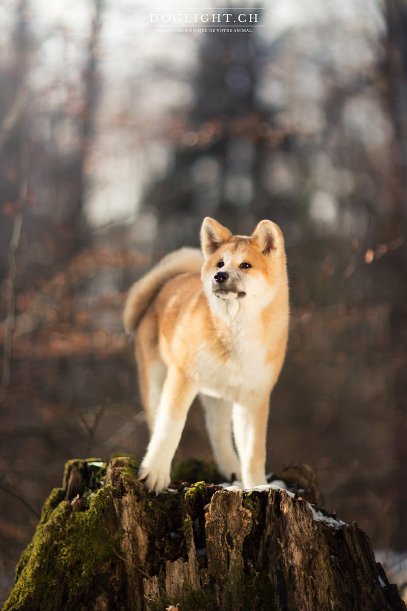 Akita Inu sur un tronc d'arbre