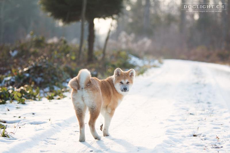 Akita Inu dans la neige