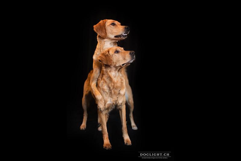 Photo studio deux chiens fond noir - golden retriever bisous
