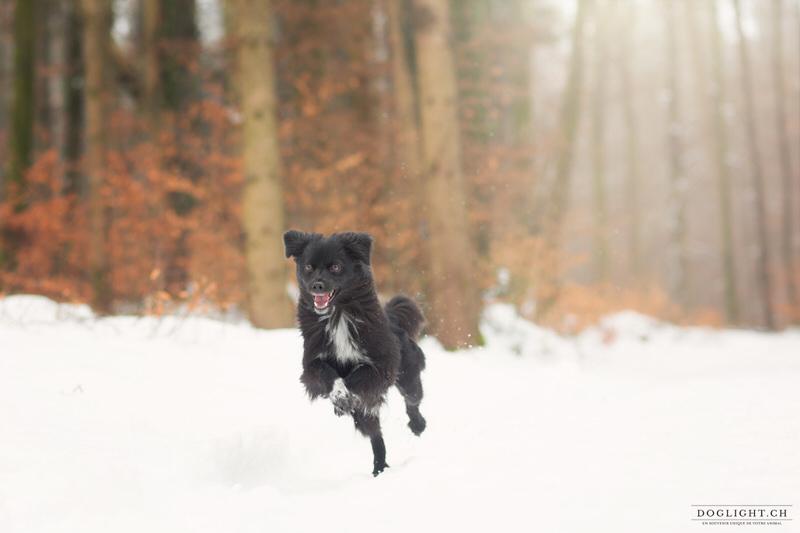 Pyrénée face rasée noir qui court dans la neige