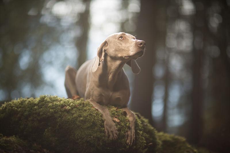 Un braque de weimar en forêt à la Vallée de Joux