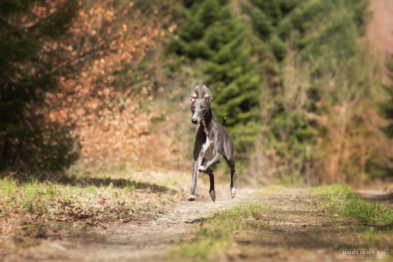 Whippet photographie