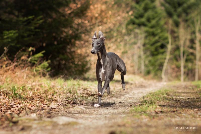 Lévrier whippet qui court en forêt de Genève