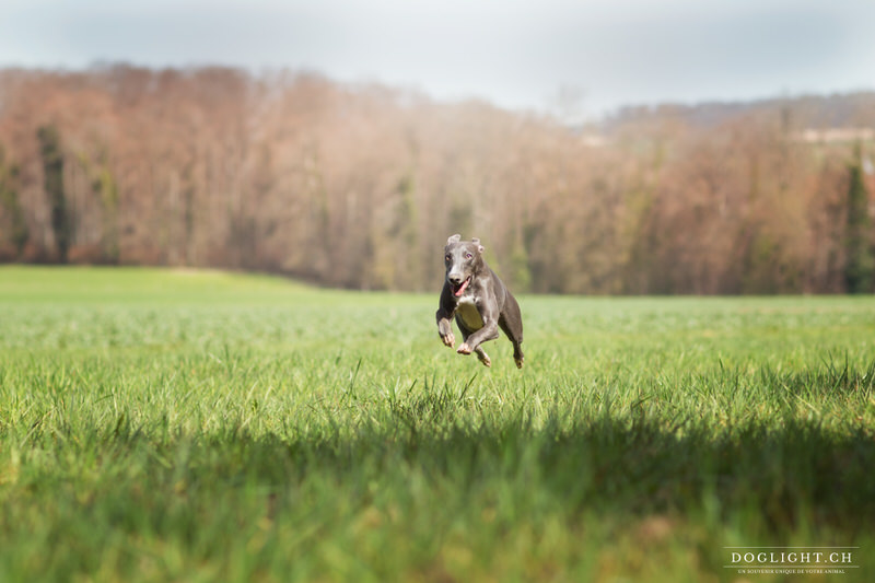 Whippet qui court
