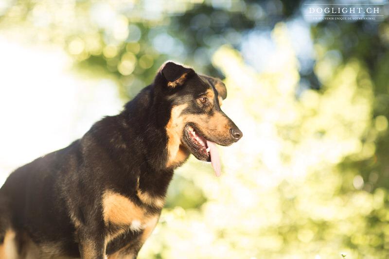 Portrait chien beauceron