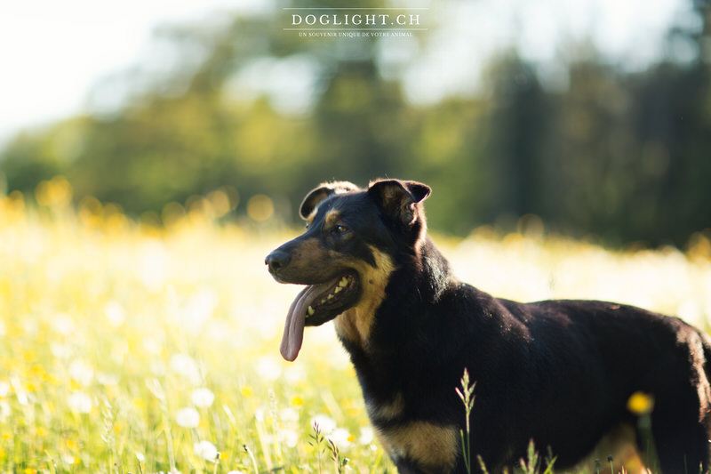 Beauceron photographie