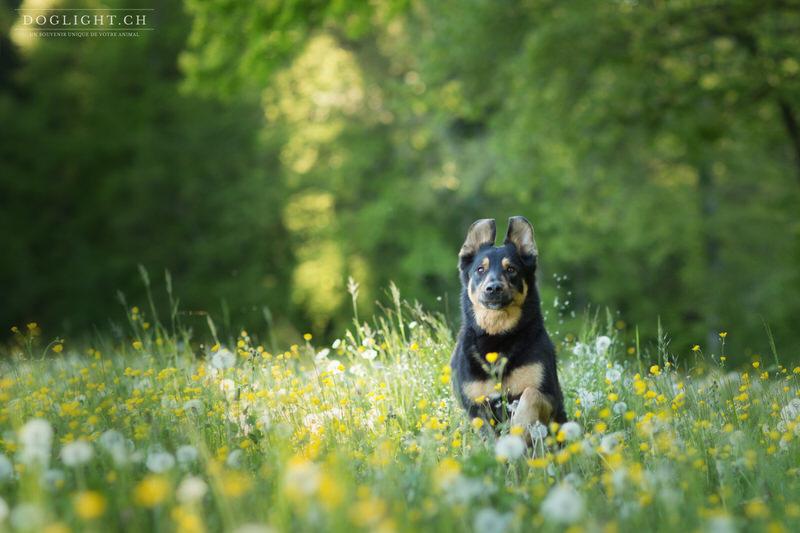 Chien Beauceron court dans les fleurs