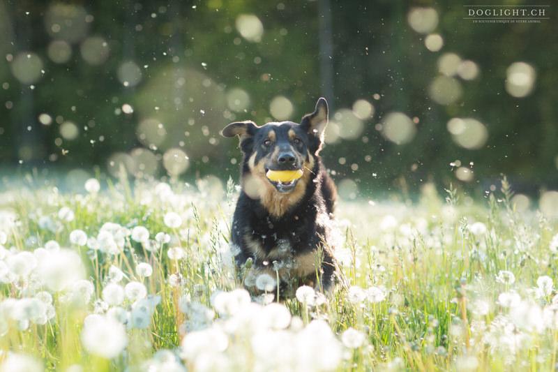 Photographie chien qui court dans les pissenlits