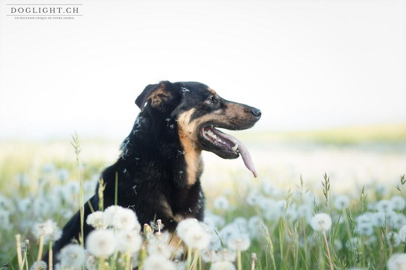 Portrait chien dans les pissenlits