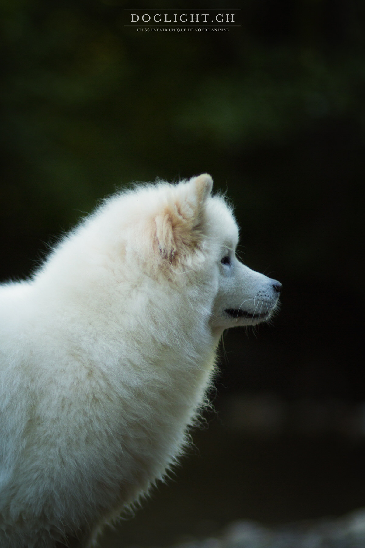 Photo portrait Samoyed d'Yverdon Suisse