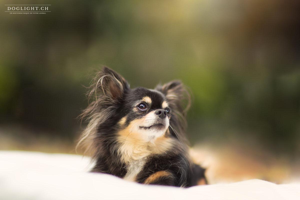 Photo chihuahua après retouche