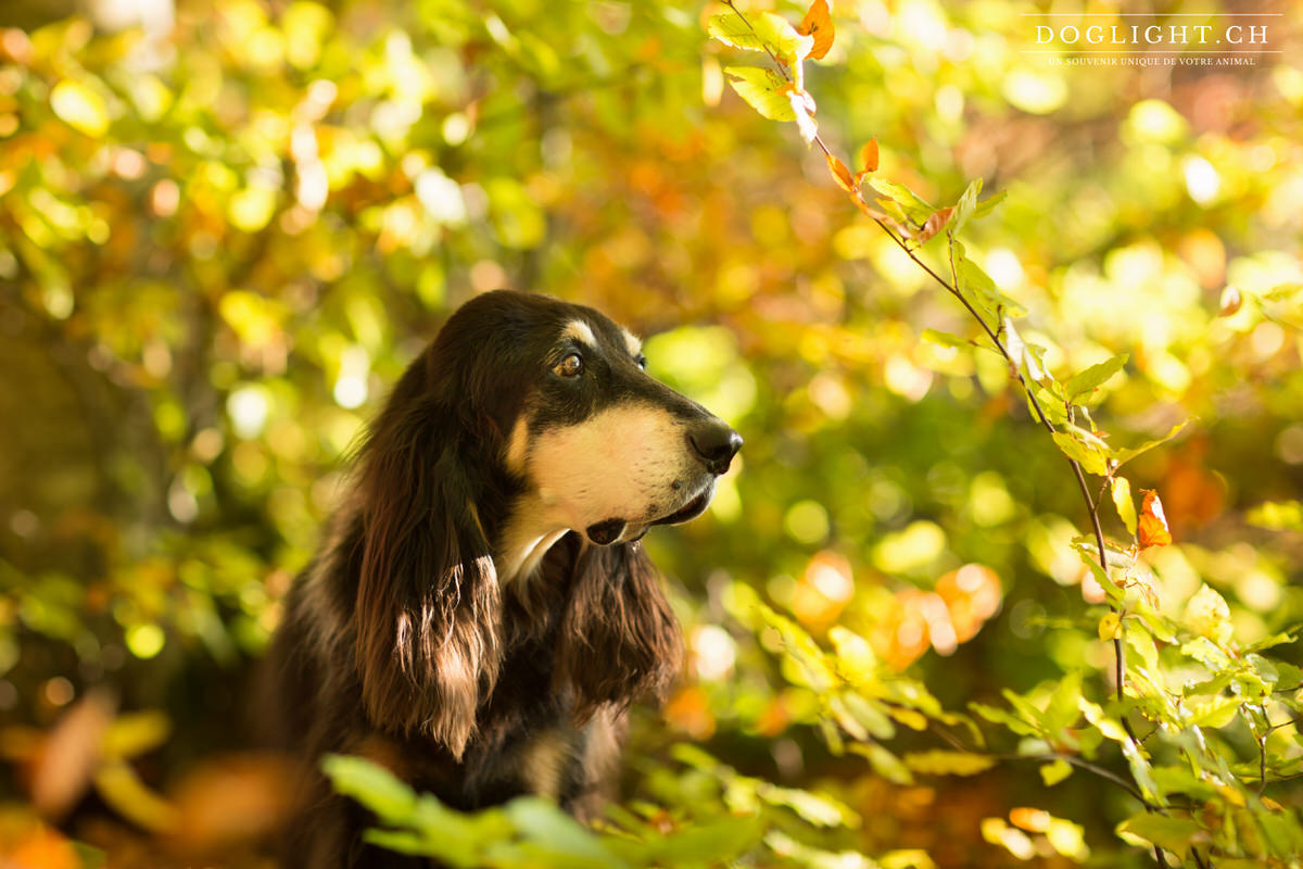 Photographie chien de chasse fribourg