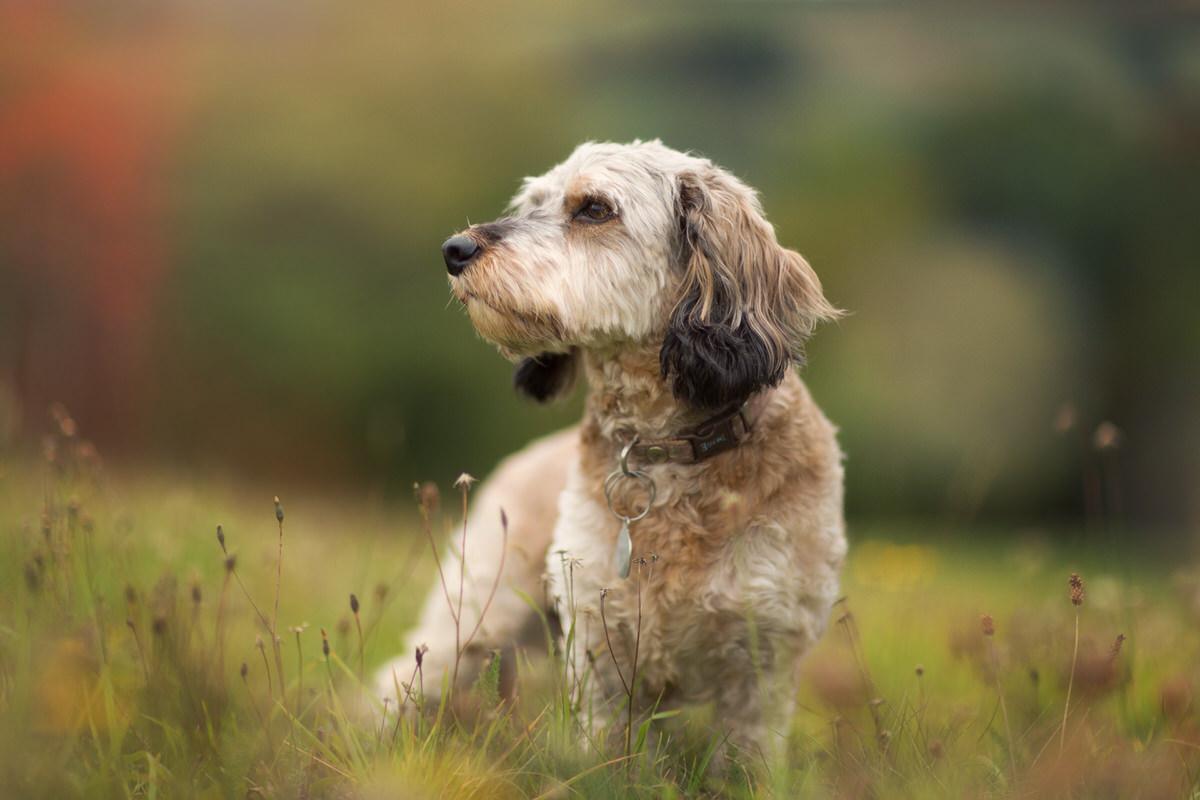 Portrait chien de chasse en automne