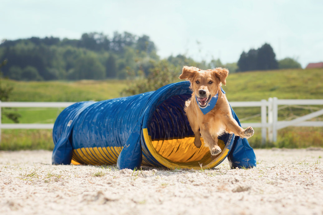 Chien golden retriever qui court dans un tunnel agility