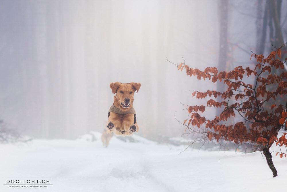 Chien qui saute dans la neige golden retriever